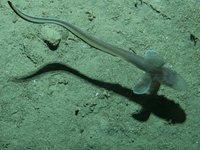 Ateleopus sp