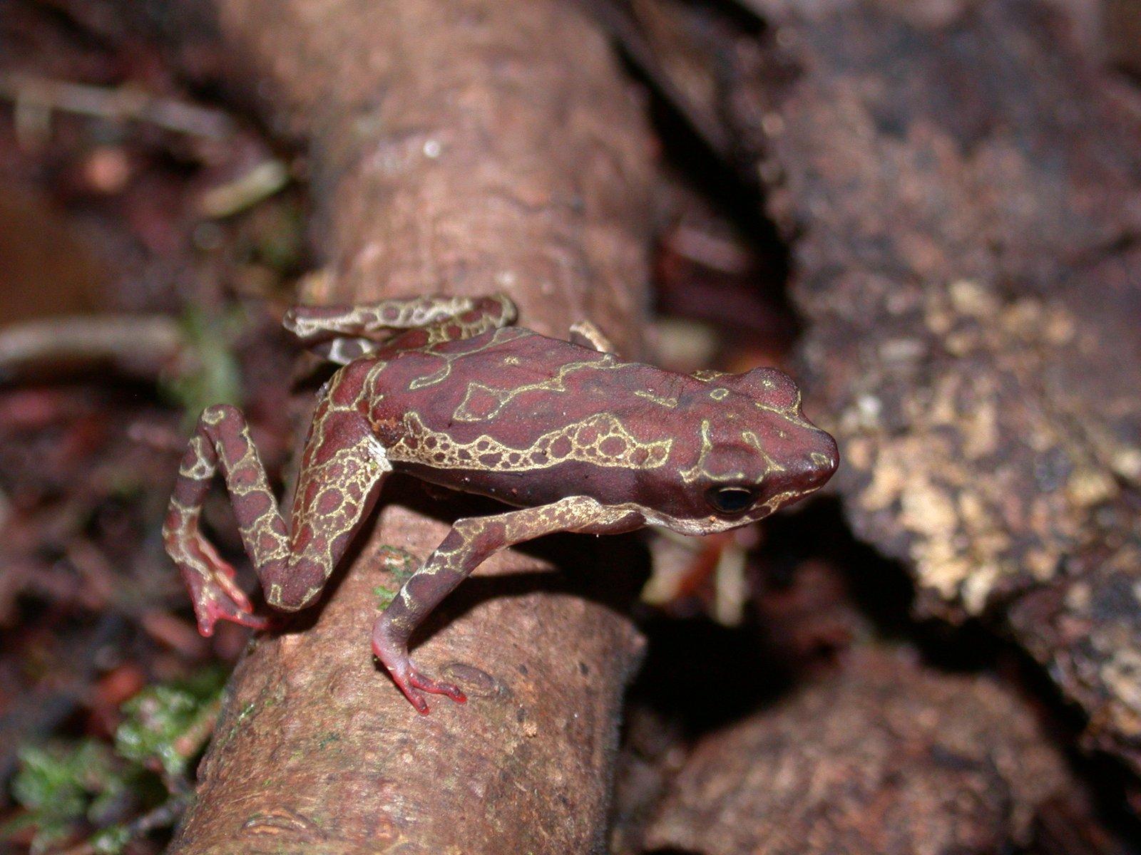 Manauense Harlequin Toad