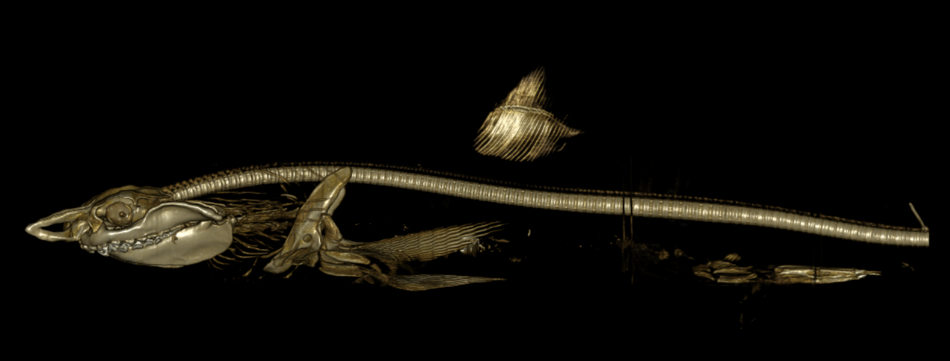 Image of the Shortfin Mako, Isurus oxyrinchus, Ichthyology Collection I.47391-001.