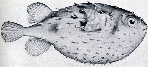Australian Burrfish, Allomycterus pilatus  illustration