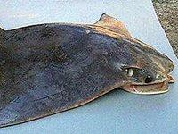 Australian Cownose Ray, Rhinoptera neglecta