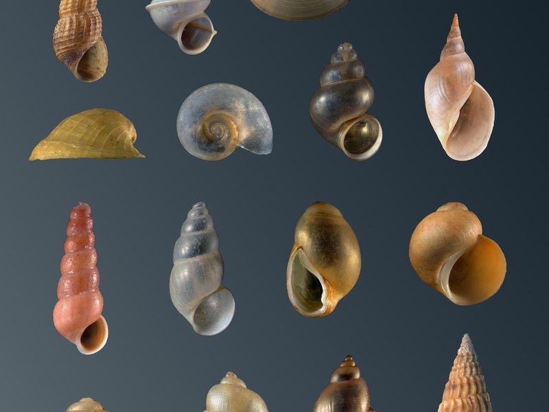 Australian Freshwater Molluscs