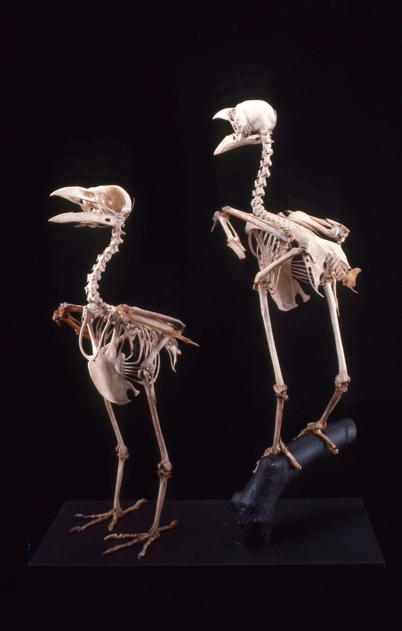 Australian Raven skeletons