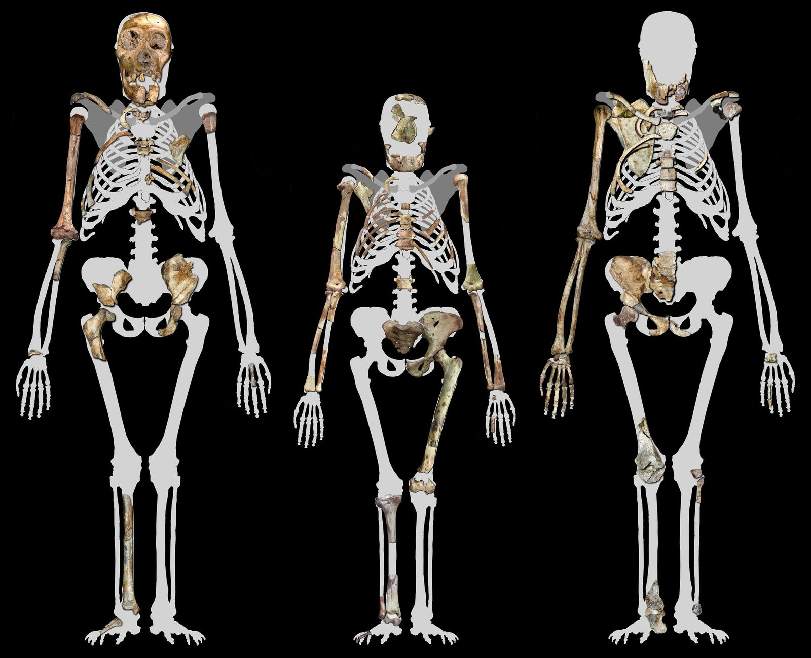 Malapa Hominin 1 (MH1) left, Lucy (AL 288-1 (Centre), and Malapa Hominin 2 (MH2) right.