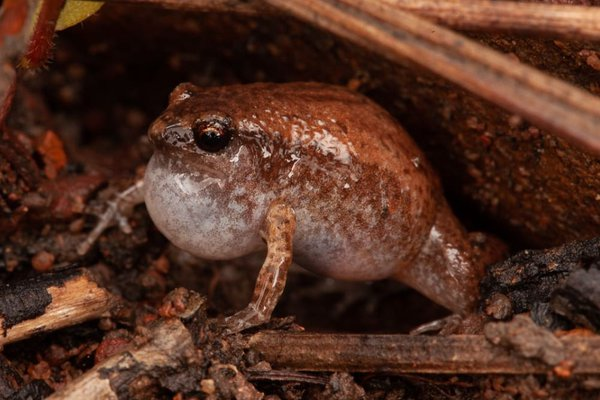 Northern Territory Frog, Austrochaperina adelphe