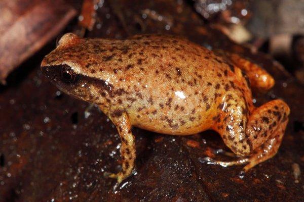 Fry's Frog, Austrochaperina fryi