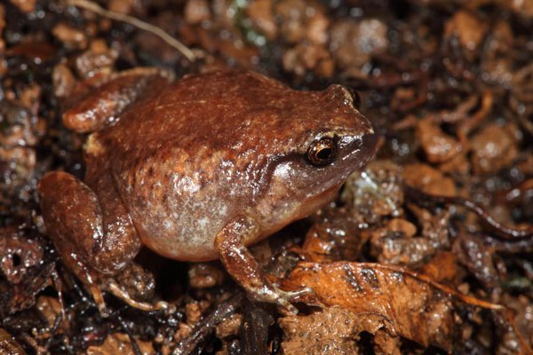 Robust Whistling Frog