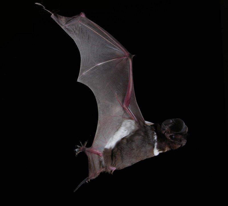 White-striped Freetail bat, Austronomus australis