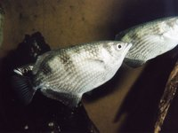 Banded Archerfish, Toxotes jaculatrix