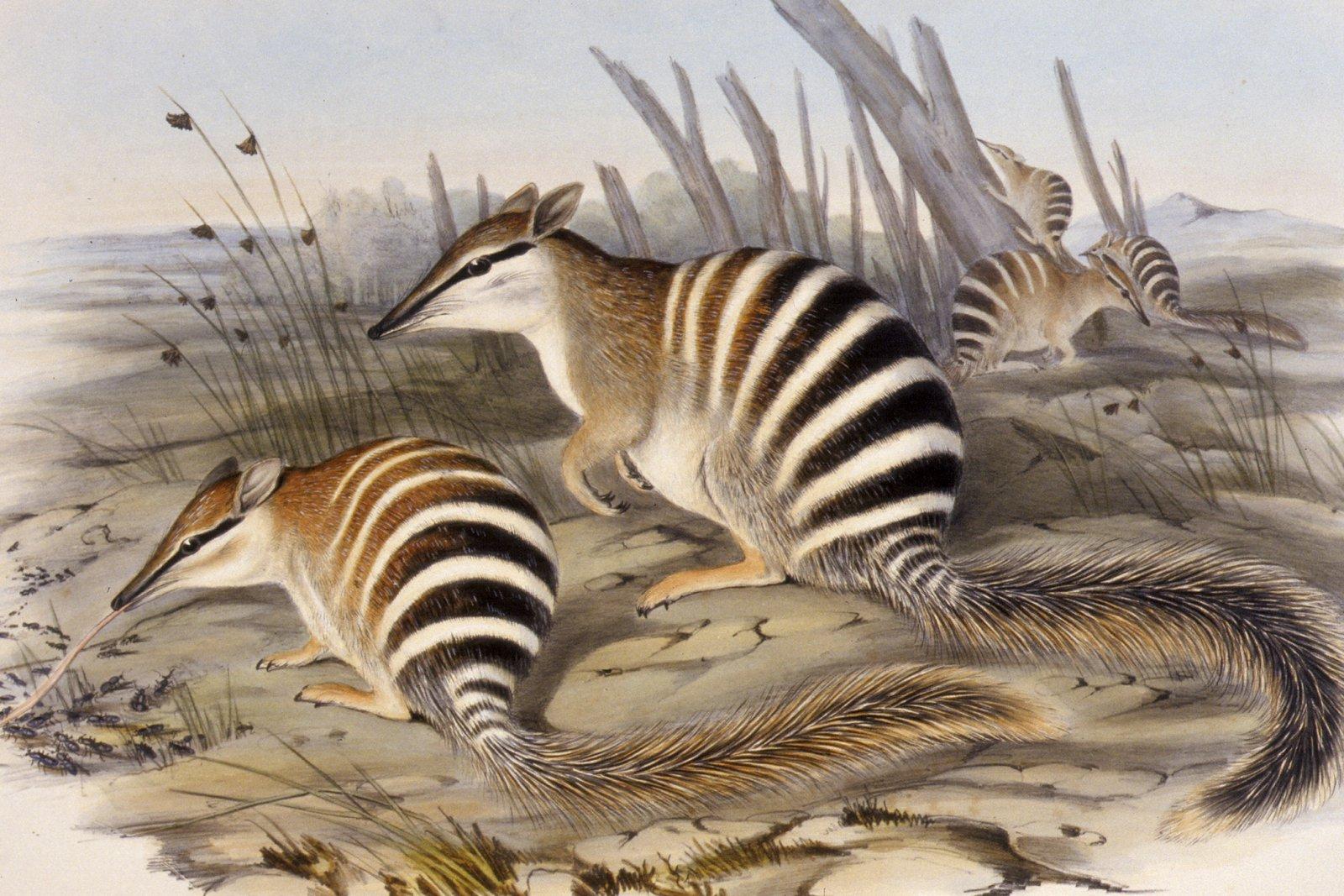 Illustration of Australian mammal