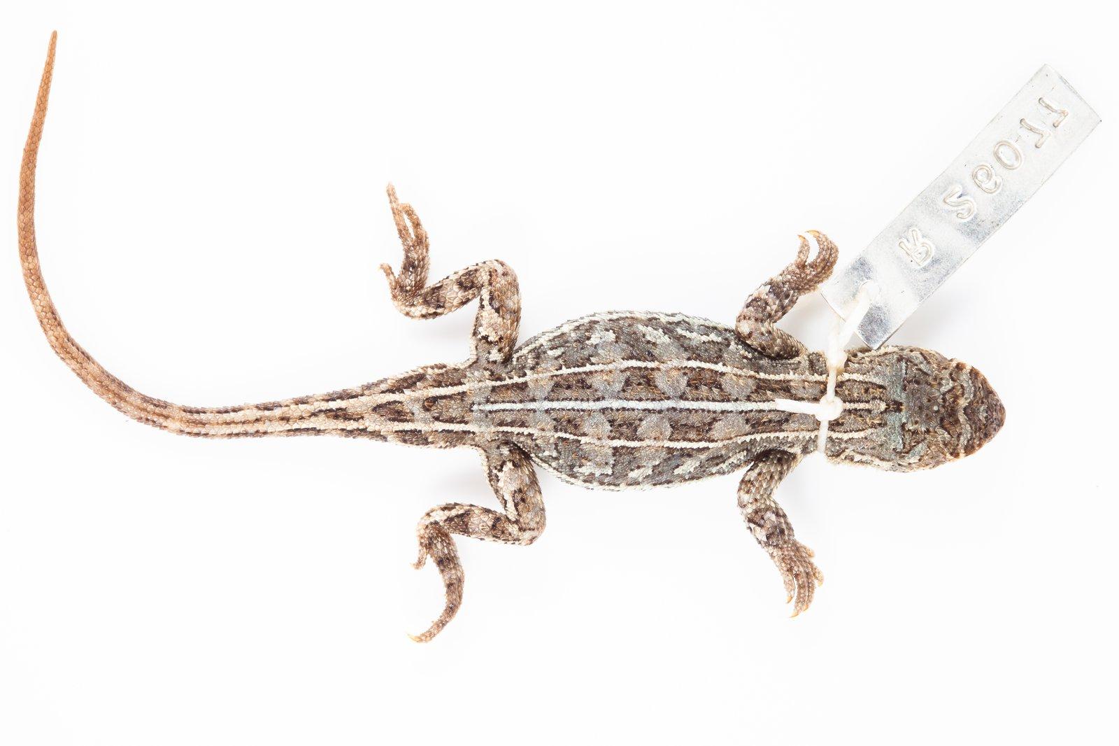 Bathurst Earless Dragon (Tympanocryptis mccartneyi)