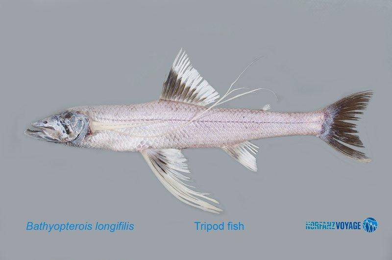 <i>Bathypterois longifilis </i>
