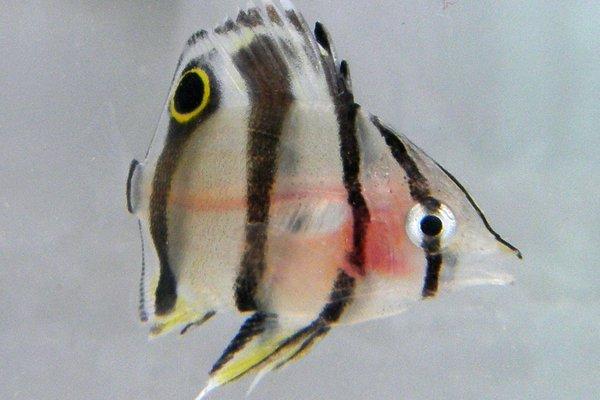 Beaked Coralfish, <i>Chelmon rostratus</i>