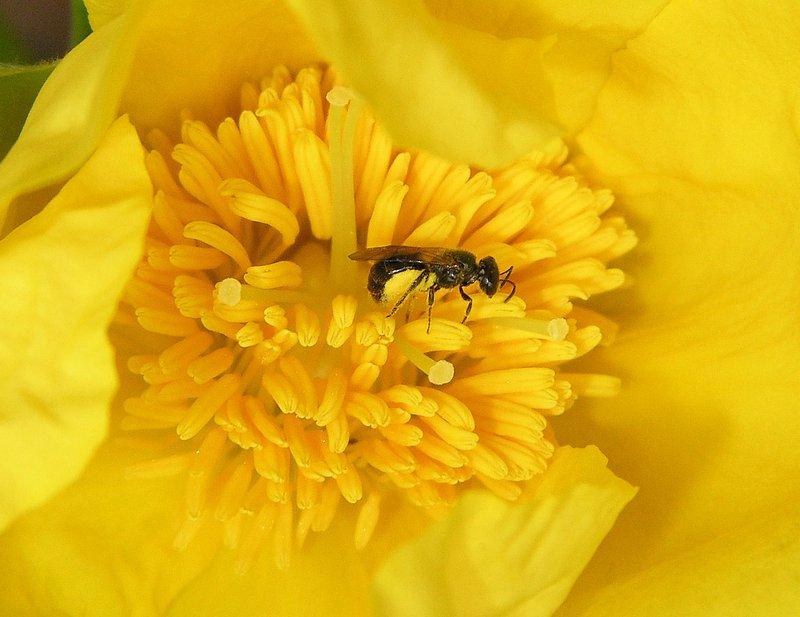 Reed Bee,  Hymenoptera