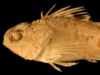 Bigeye Gurnard Perch, Maxillicosta lopholepis