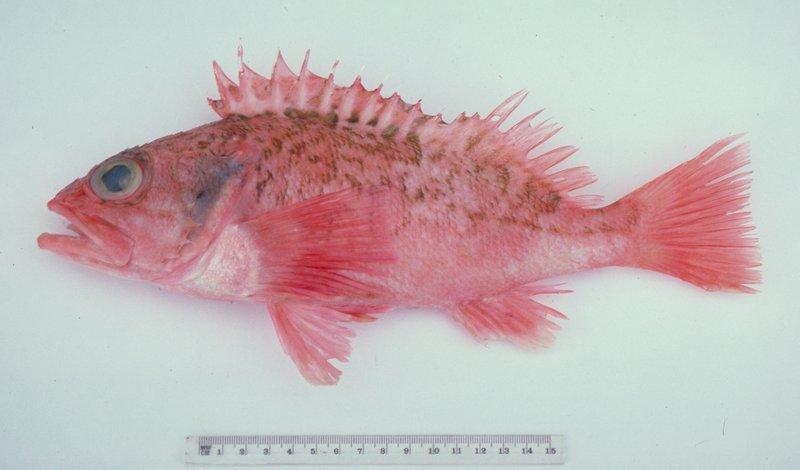 Bigeye Ocean Perch, Helicolenus barathri