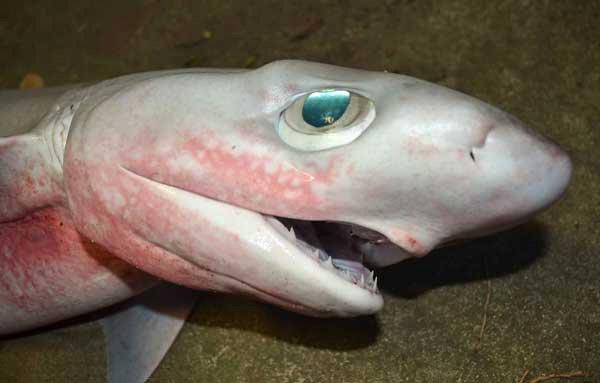 Bigeye Sixgill Shark, Hexanchus nakamurai