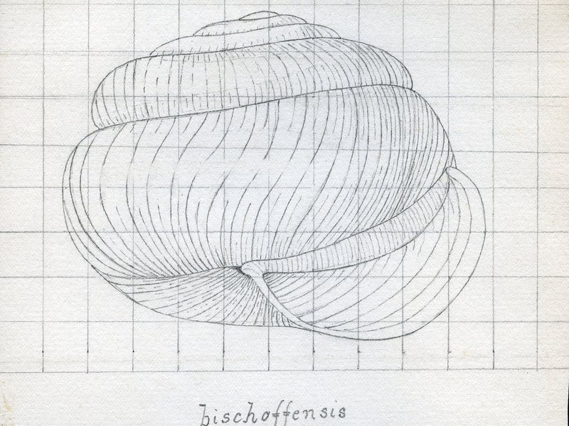 Sketch of <i>Charopidae bischoffensis</i>