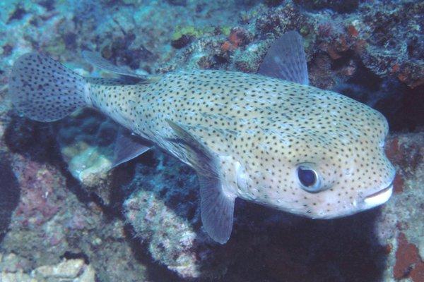 Black-spotted Porcupinefish, Diodon hystrix