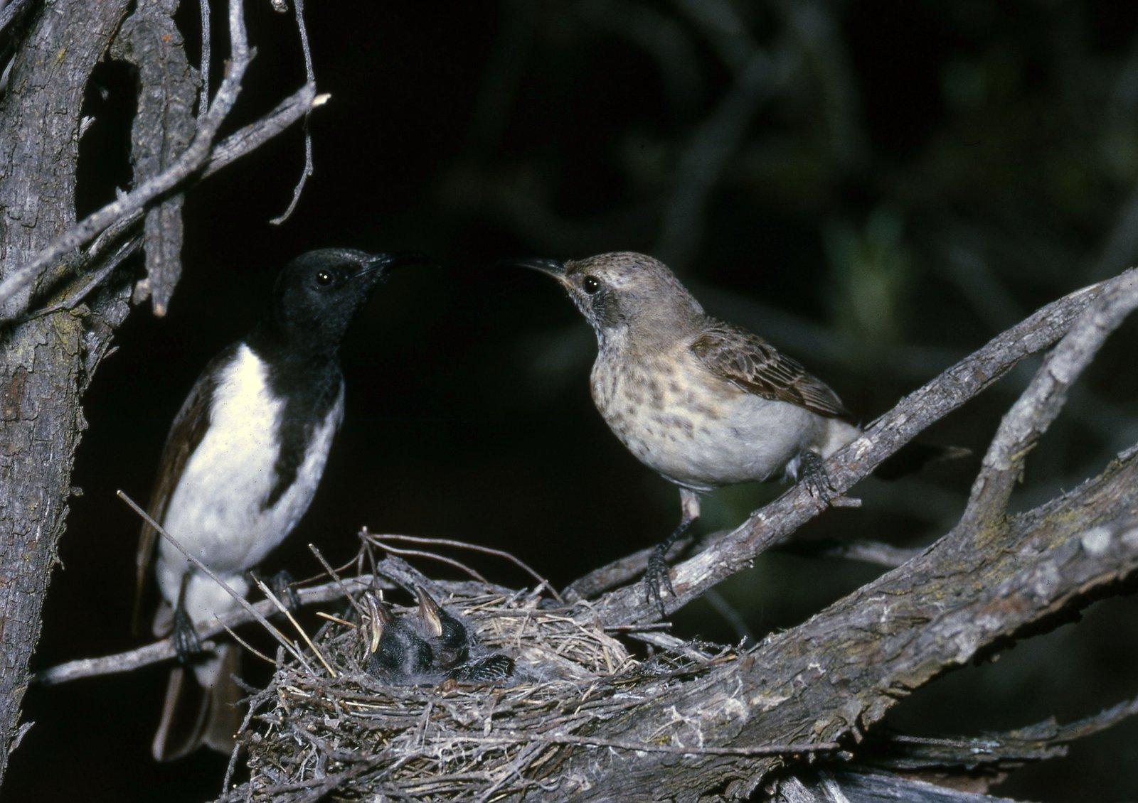Black Honeyeater, Certhionyx niger