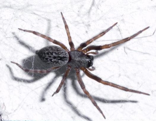 Black House Spider, Badumna sp.