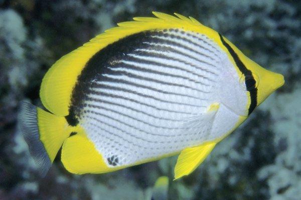 Blackback Butterflyfish, Chaetodon melannotus