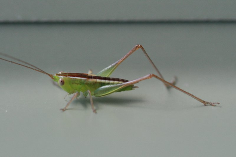 Conocephalus semivittatus (Blackish Meadow Katydid)