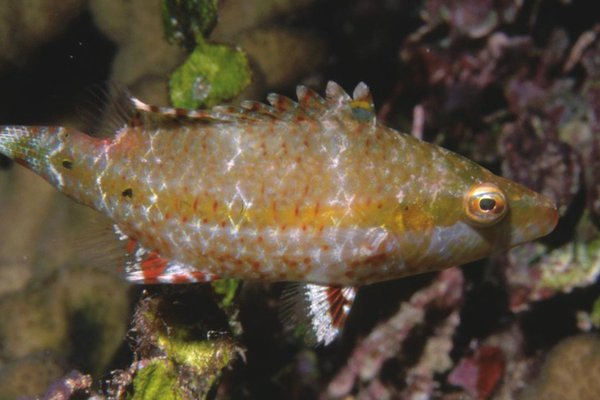 Blackmargin Maori Wrasse, Oxycheilinus nigromarginatus