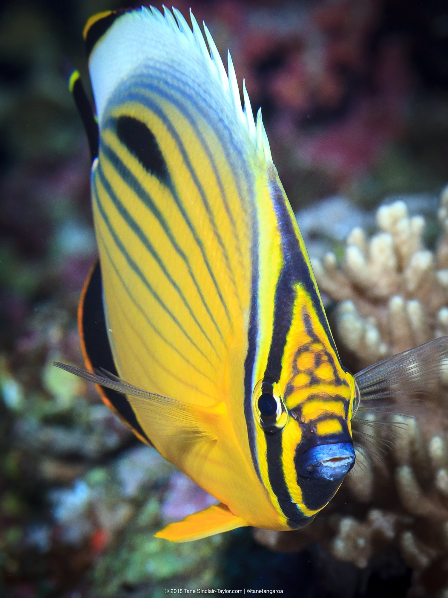Blacktail butterflyfish (Chaetodon austriacus)