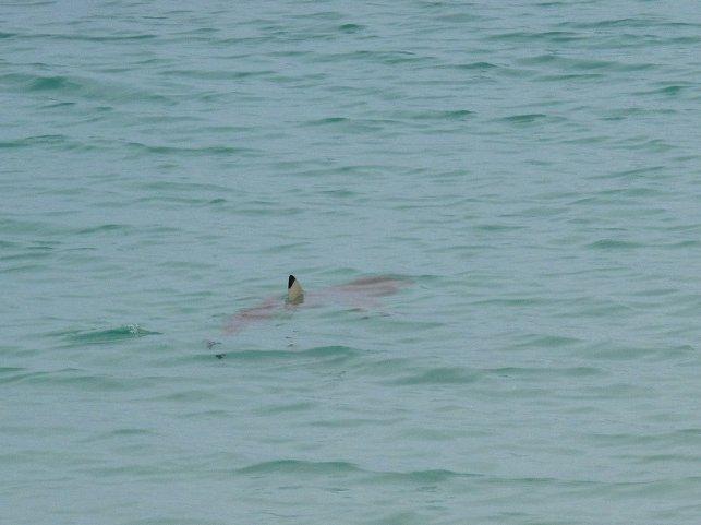 Blacktip Reef Shark, Casuarina Beach