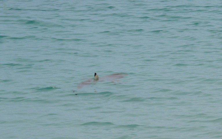 Blacktip Reef Shark, Casuarina Beach