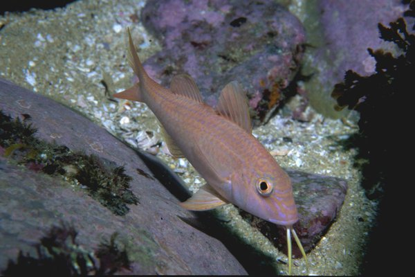 Blue-lined Goatfish, Upeneichthys lineatus