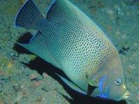 Blue Angelfish, Pomacanthus semicirculatus
