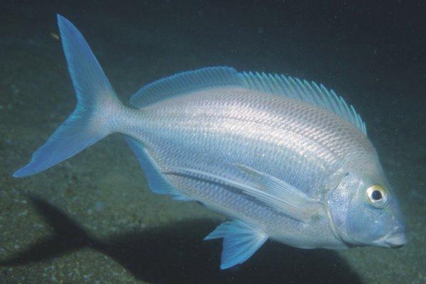 Blue Morwong, Nemadactylus douglasii