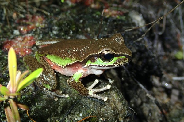 The Blue Mountains Tree Frog (Litoria citropa).