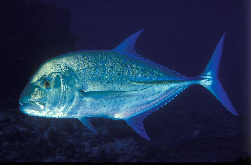 Bluefin Trevally, Caranx melampygus