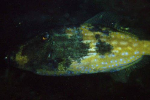 Bluelined Leatherjacket, Meuschenia galii