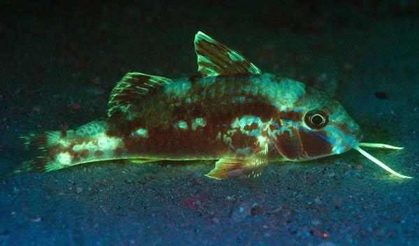 Bluestriped Goatfish, Upeneichthys lineatus