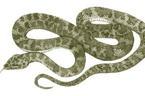 Bluff Downs Giant Python - Liasis species