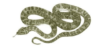 Australia's extinct snake, Bluff Downs Giant Python - Liasis species
