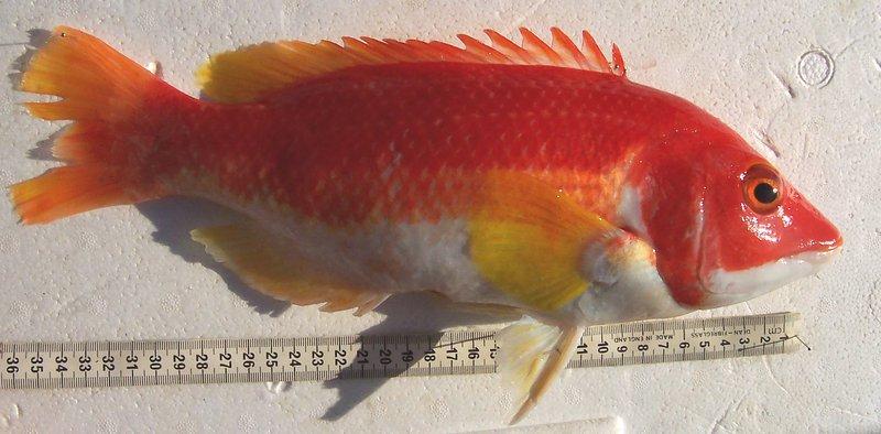 Bodianus flavipinnis