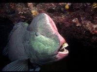 Bumphead Parrotfish<i>Bolbometopon muricatum</i>