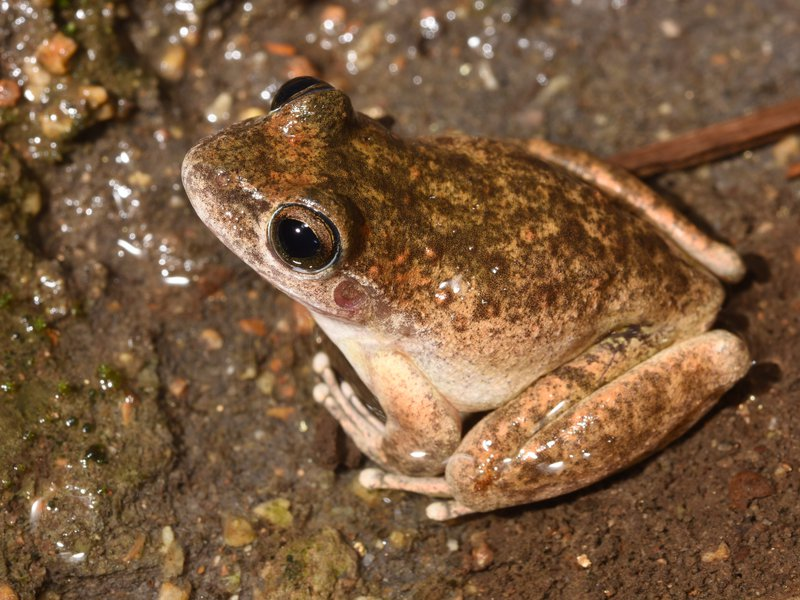 Booroolong Frog (Litoria booroolongensis)
