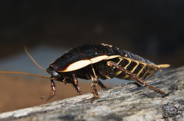 Botany Bay Cockroach, Polyzosteria limbata
