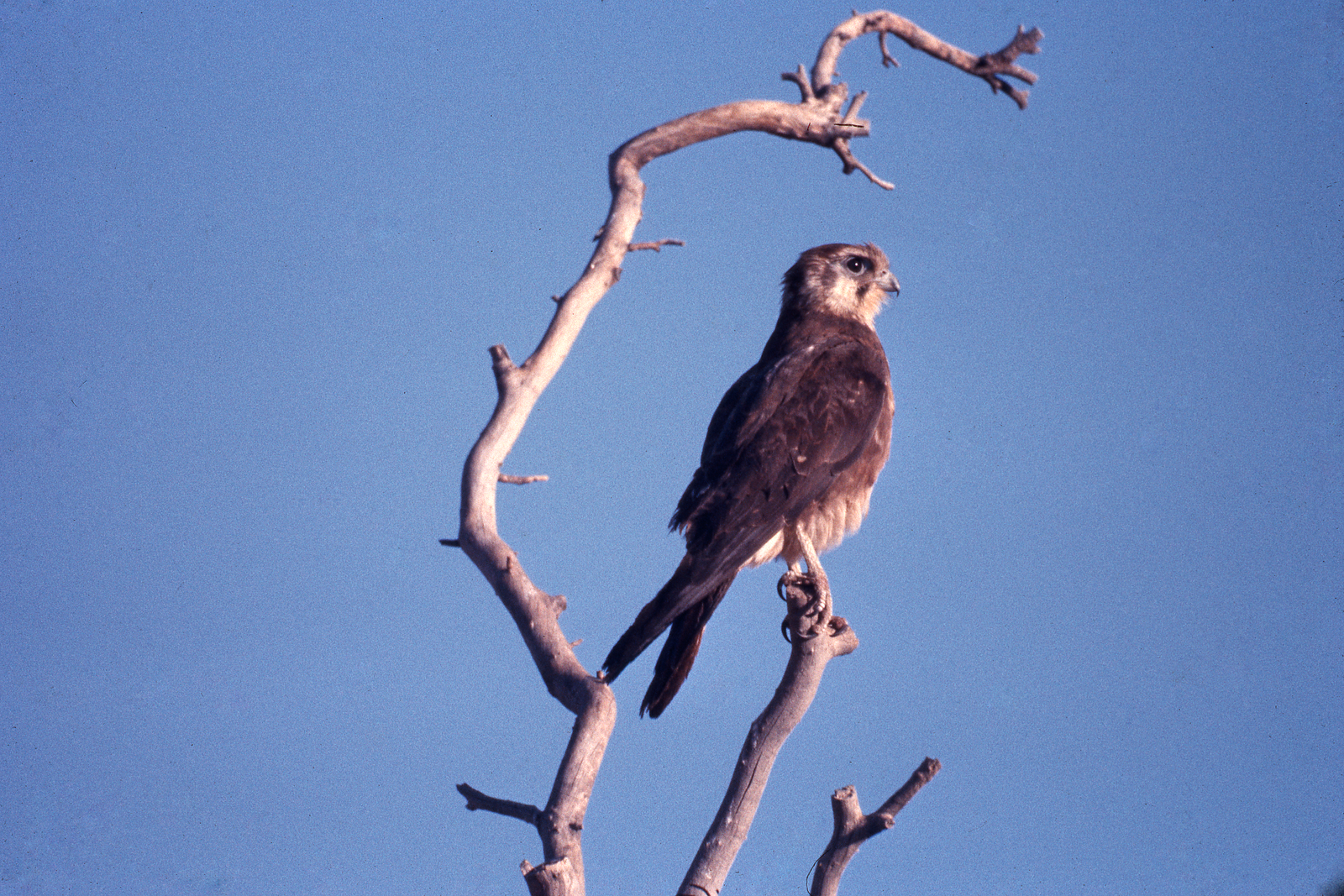 Brown Falcon on a tree