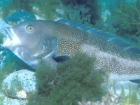 Brown Spotted Wrasse, Notolabrus parilus