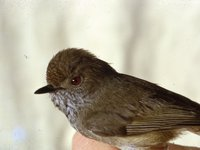 Brown Thornbill, Acanthiza pusilla