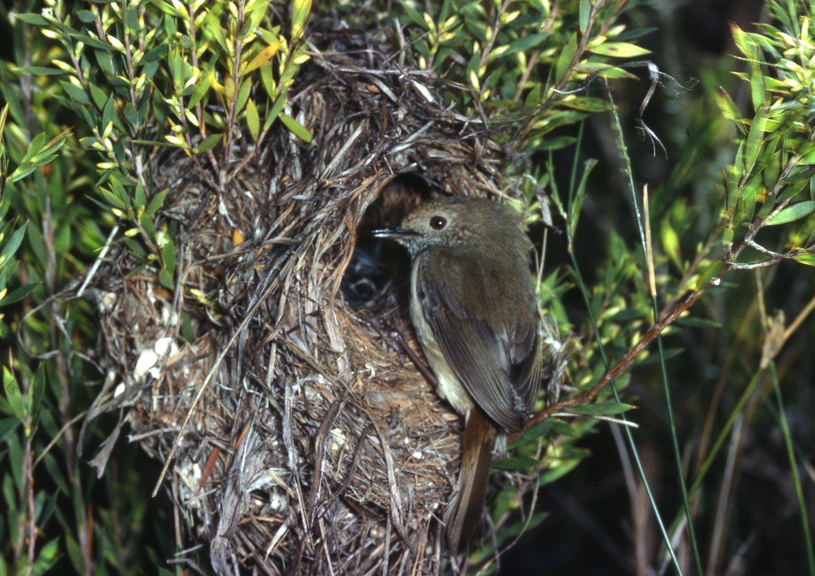 Brown Thornbill, Acanthiza pusilla