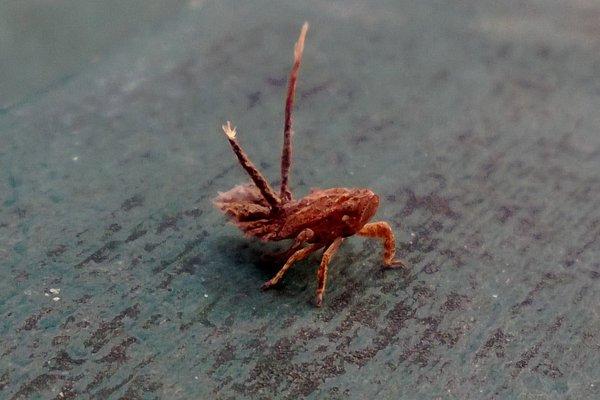 Bugs, planthopper