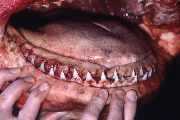 Bull Shark,Carcharhinus leucas - lower jaw teeth